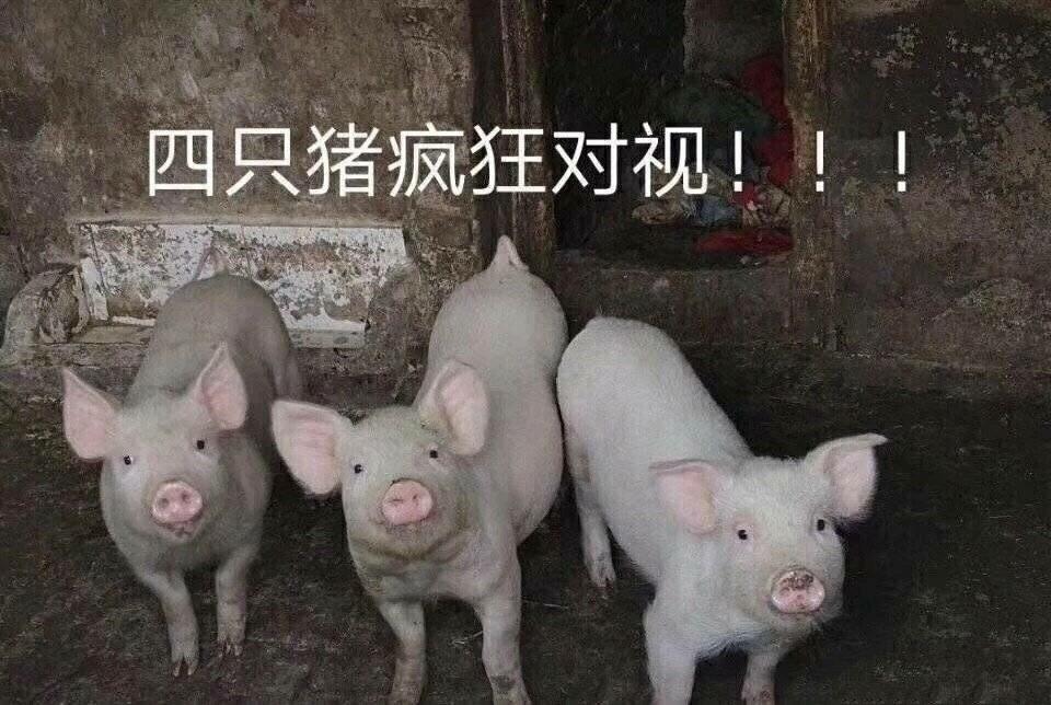 抖音四只猪疯狂对视图片分享