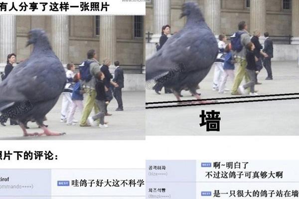 鸽子为什么这么大什么梗 鸽子为什么这么大是什么意思