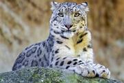 四川石渠境护林员发现并救治受伤雪豹